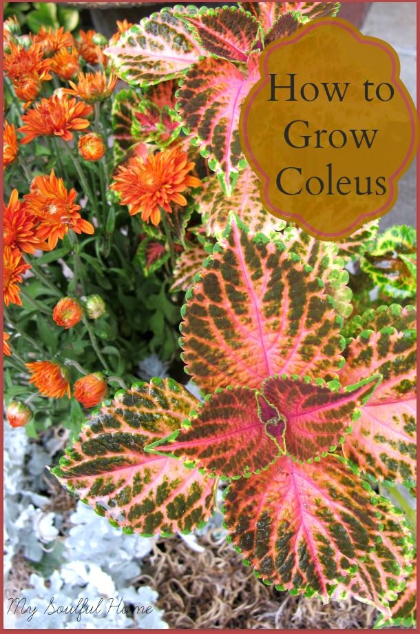 Coleus a growing guide ~ planting, pairing, pruning & propagating. Find out all you need to know!