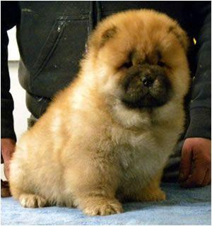 Tre Regni Chow Chow - Cuccioli - Puppies