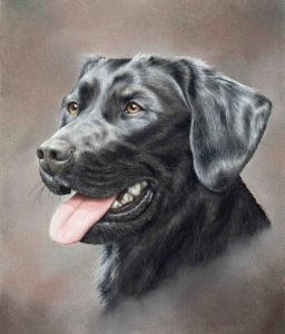 Black Labrador in Pastel Pencils