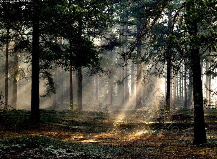 Kevätaamu - metsä aamu usva valo puut männyt sammal polku