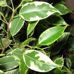 9. Кинки, Kinky — карликовый сорт с пестрыми (окрас светлозелено-желтовато-белый) по краю листа листьями: