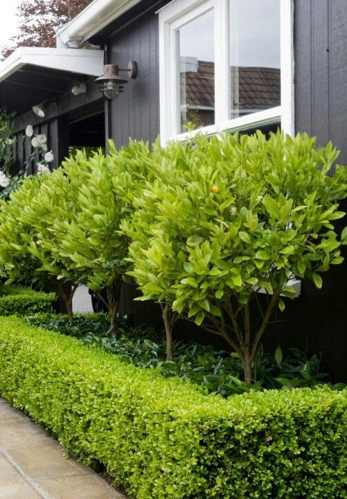 Kumquat trees star jasmine underneath surrounded by box for Garden design ideas with hedges