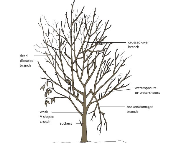 pruning cherry trees diagram
