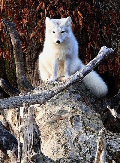 An Arctic white fox on the shore of Evergreen Lake near Hudson, Illinois [Photo: Lenore Sobota/AP]