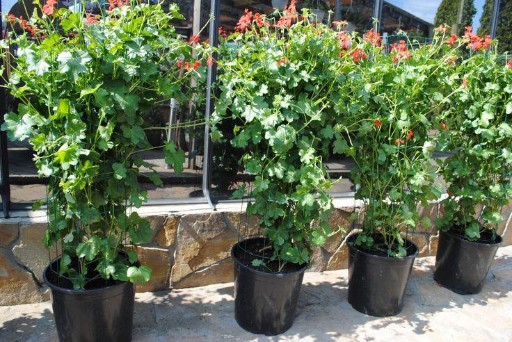 Уличные растения Пеларгония ампельная
