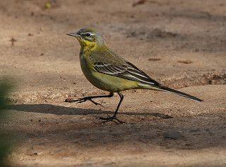 Yellow Wagtail | Yellow Wagtail (Motacilla flava) Ghion Hote… | Flickr