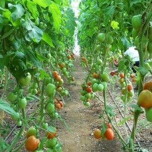 Как ухаживать за помидорами и огурцами в теплице