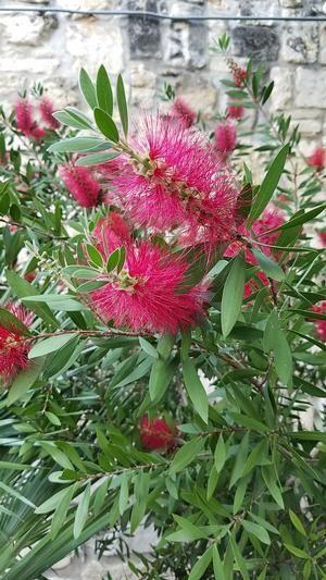 Callistemon citrinus (Bottlebrush)