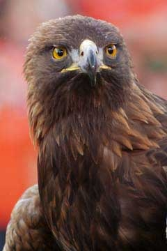 """Nova, """"War Eagle VII"""". The Auburn Tigers have had seven numbered """"War Eagle"""" bird mascots to date, but the first of these only appeared in a legend about the history of the AU phrase """"War Eagle""""."""