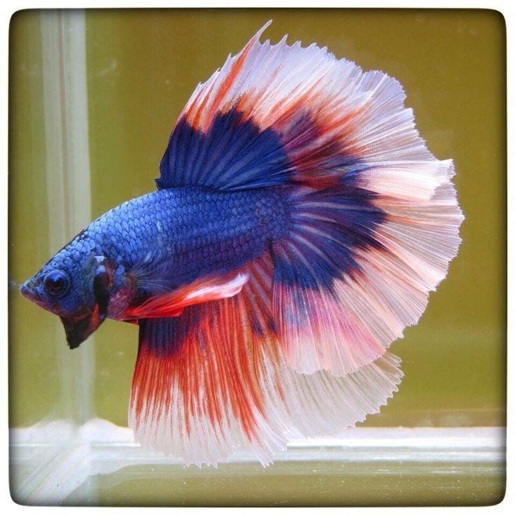 Blue bf hm male beautiful betta fish for Betta fish water change