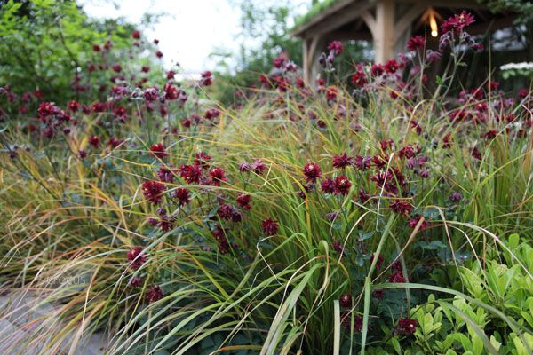 Aquilegia 'Ruby Port' grown among grasses.