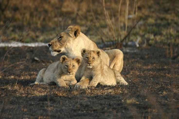 Jamala Madikwe Royal Safari Lodge, Madikwe Game Reserve