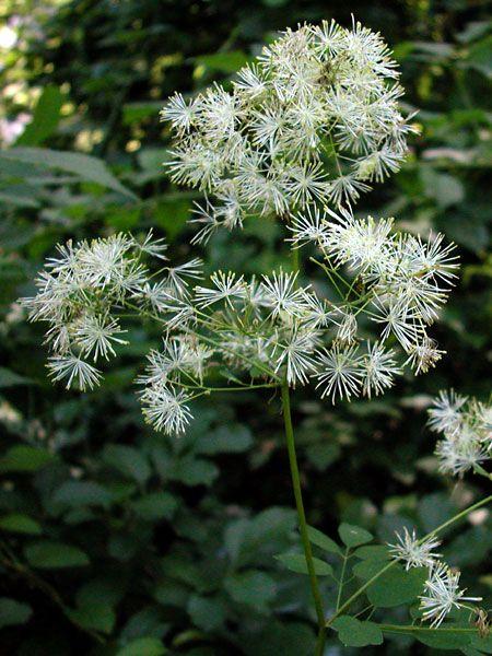Pigamon pubescent (Thalictrum pubescens).  Famille: Ranunculacée.