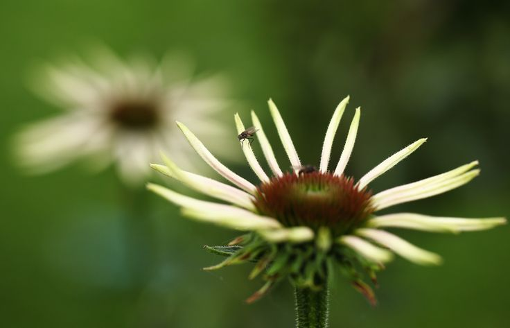 Echinacea is een erg populaire plant
