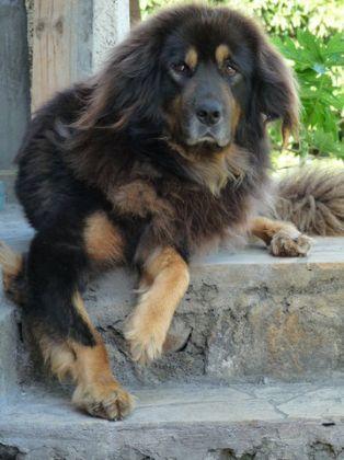 dogue du tibet, mastiff tibétain