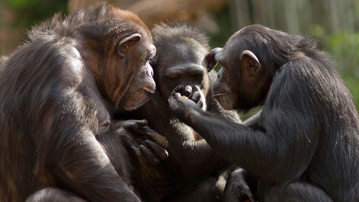 Bilim Açıklıyor: Maymunlar Neden Konuşamıyorlar?