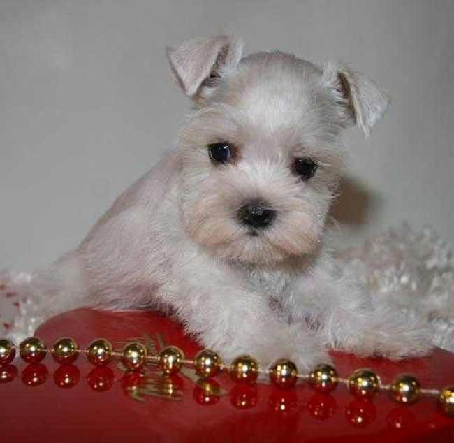 teacup schnauzer puppies for sale | Zoe Fans Blog
