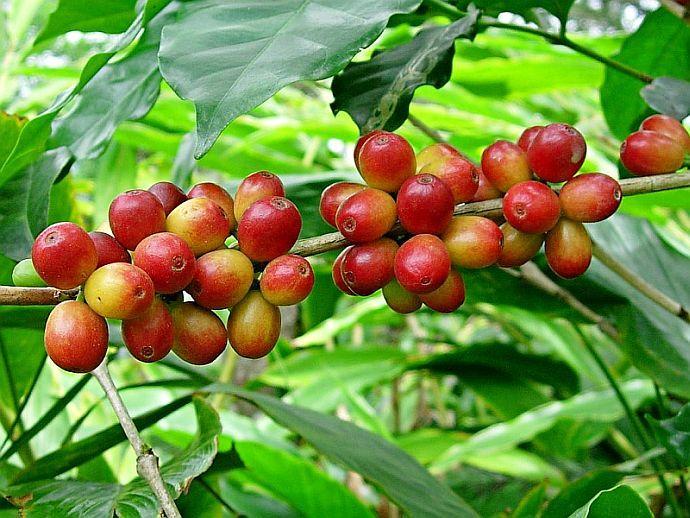 Coffea Arabica (Кафеево дърво, Кафе)