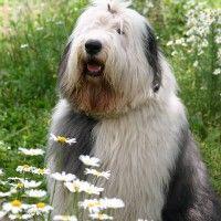 #dogalize Razas de Perros: Bobtail características y cuidados #dogs #cats #pets