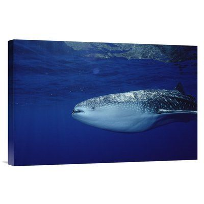 East Urban Home 'Whale Shark Portrait, Largest Shark Species, Cocos Island, Costa Rica' Photographic Print Size: