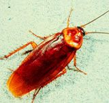 We at Mourier Pest Control provide very effective cockroach control service at affordable price. We will provide an appropriate mode of action and treatment to so that you cannot see even a single cockroach again.