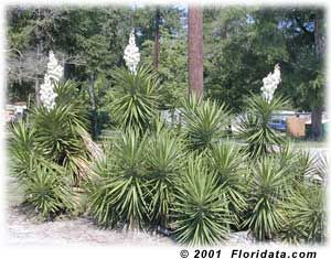 """Cheap, easy and quick to propagate from cuttings, Yucca aloifolia 'Spanish Bayonet', Yucca treculeana 'Spanish Dagger', or even Yucca brevifolia 'Joshua Tree', are great security hedges. They have beautiful and exotically bazaar, stiff leaves, hence the nickname, """"Burlars' Nightmare."""" Their flowers are edible. Read this for for one example of how to use them: http://www.eattheweeds.com/yucca-yuca-which-is-edible-2/"""