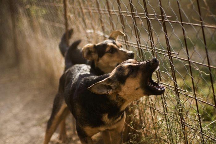 Algunas razas no paran de ladrar, y los beagles están entre ellos. Puedes gritar a un perro ladrando hasta que esté azul la cara y pueden dejar brevemente de ladrar pero por lo general rápidamente comienzan de nuevo. Este comportamiento no es del todo culpa de ellos, sin embargo, tenemos …