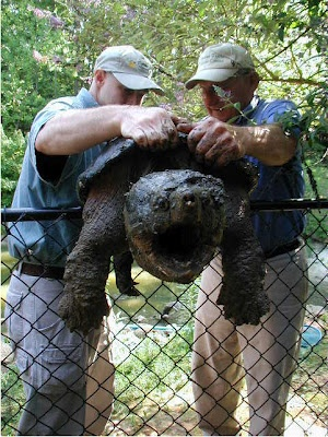 Alligator Snapping Turtles are the largest freshwater turtles. They weigh between 155 and 175 pounds.