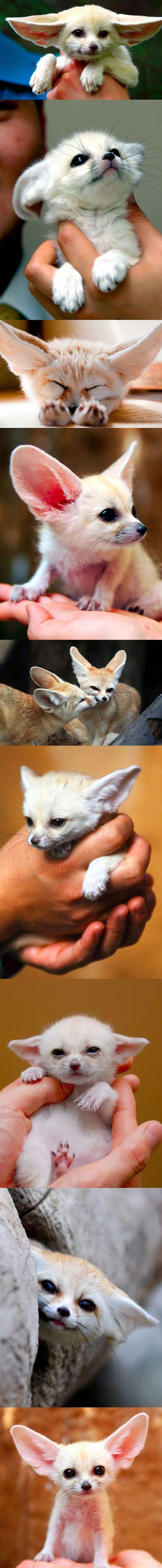 A fofura da raposinha fennec...