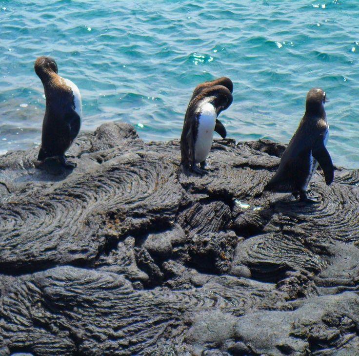 Cansou das fotos com lava derretida e solidificada? Não. Então toma mais uma. As menores espécies de pinguins estão em Galápagos. Olhas eles aí. Ilhas Galápagos (2013). #viagenspararecordar #umlugarparavoltar #ecuador #equador #ilhas #arquipelago #galapagos #sol #verao #calor #vulcao #lava #pinguin