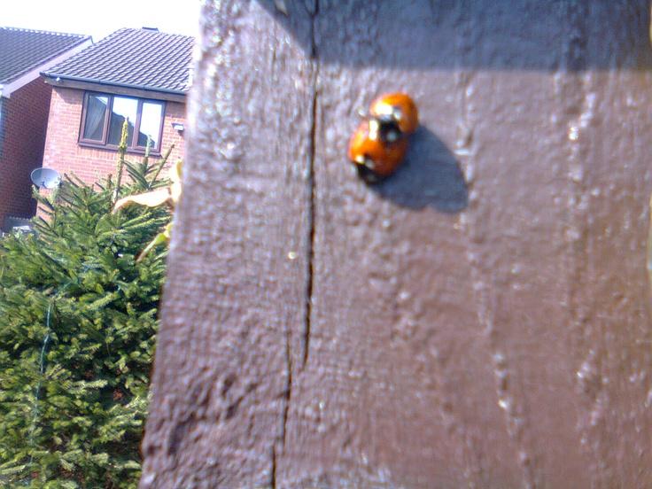 Ladybug pron