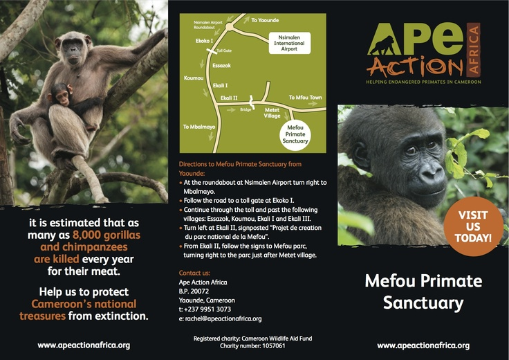 In Cameroon? Come and visit us!   http://www.apeactionafrica.org/get-involved/visit-mefou