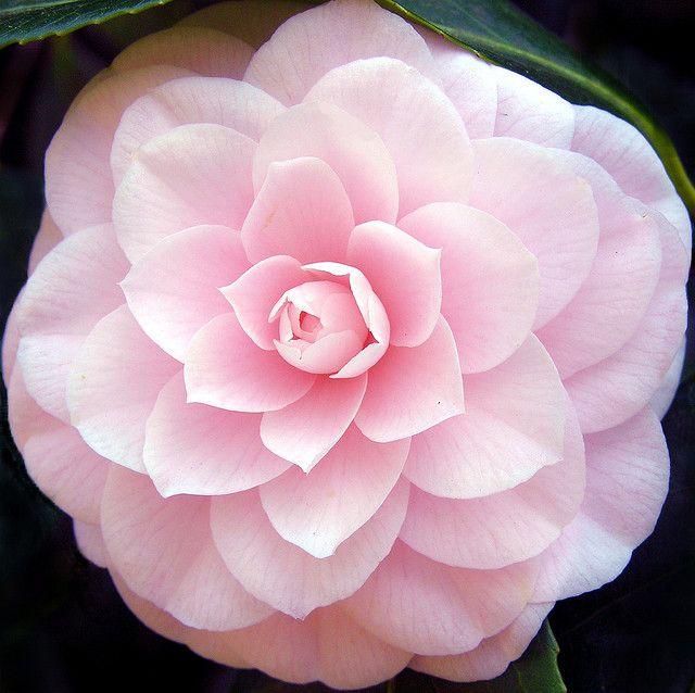 The pink camellia flower -   Taken in the Savill Garden at Great Windsor Park, UK by Suzanne Rowcliffe