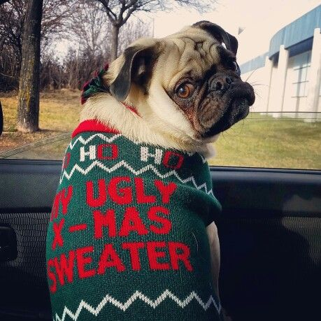 My Pugly Christmas Sweater #puglifechoseme #pugsofinstagram #christmassweater
