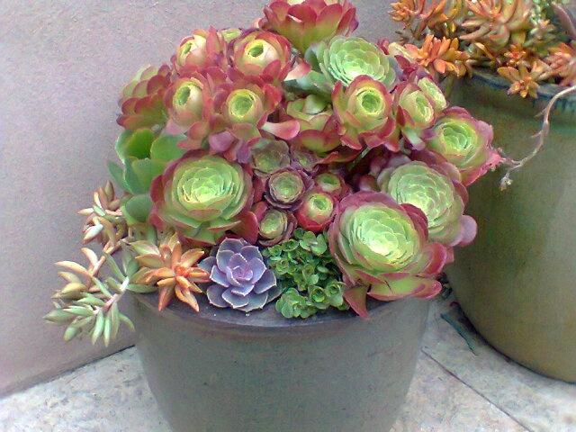 Aeonium · Succulent CanSucculent ContainersContainer Gardening DeliciousCactiPlantingGarden ...