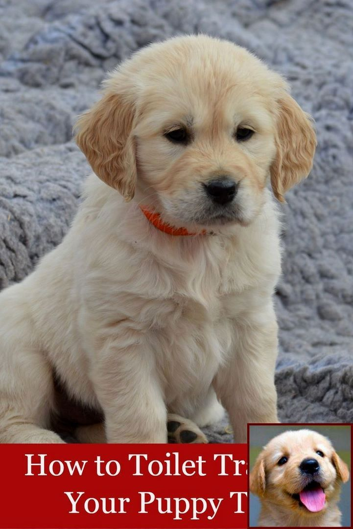 House Training A Puppy In 3 Days And Dog Training Courses In India