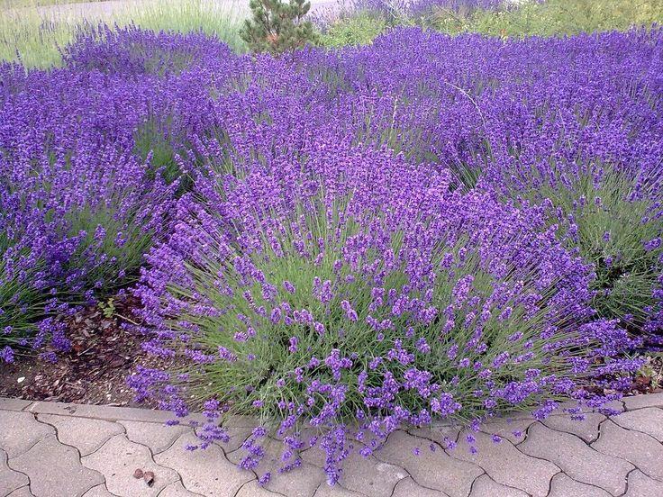 Így szaporítsd a levendulát, az egész udvarod a nyugalom és az illatok szigete lesz!