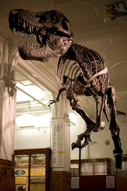 """Manchester Museum - meet Stan the T-Rex by purplemattfish on Flickr. """"He is a 65 million year old Tyrannosaurus Rex called """"Stan"""" named after Stan Sacrison who discovered him in 1987. This is a resin cast of the bones that I imagine is in a number of museums around the world."""""""