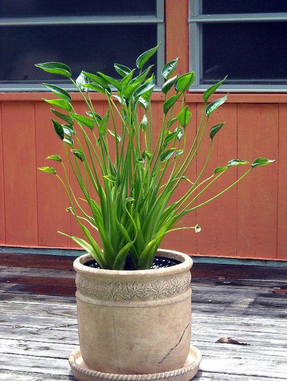 Les 25 meilleures id es de la cat gorie plante alocasia for Alocasia d interieur
