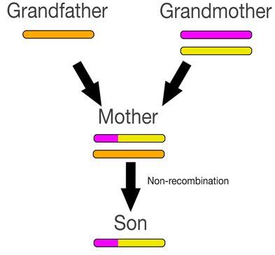 X Chromosome Recombination's Impact on DNA Genealogy
