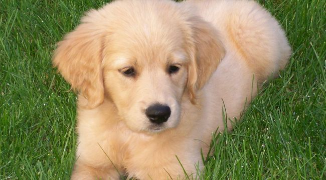 Mini Retrievers | Golden Retriever Breeder | DoodleQuest