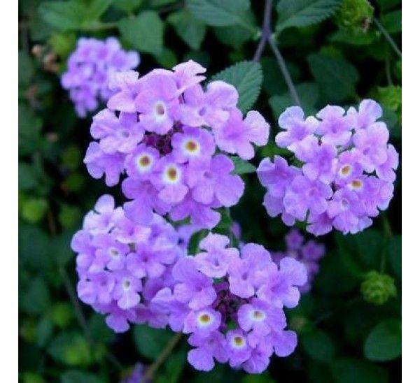 Buy Lantana Purple Online At Cheap Price India S Biggest Plants And Seeds Shop In 2020 Lantana Plant Plants Lantana