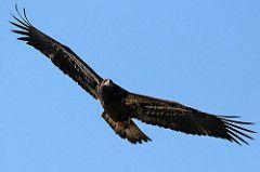 Immature bald eagle 1