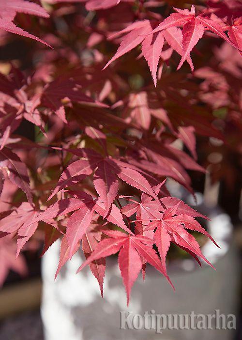 JAPANINVAAHTERAT – KUUKAUDEN KASVI 9/2015. Suositut japaninvaahterat  (Acer palmatum) ovat monimuotoisia pikkupuita. Eri tavoin liuskoittuneiden lehtien väri vaihtelee vihreästä keltaiseen, oranssiin, punaiseen, pronssiseen ja viininpunaiseen. Lataa artikkeli ja lue lisää pikkuvaahteroista. http://www.kotipuutarha.fi/puutarhavinkit/koristekasvit/japaninvaahtera.html