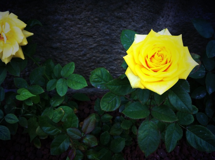 A yellow rose said.