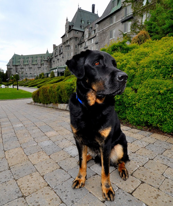 Meet Jordy, Canine Ambassador for Fairmont Le Manoir Richelieu