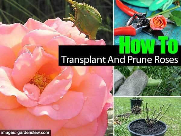 How To Prune Knockout Roses Rose Plant Care Planting Roses Knockout Roses