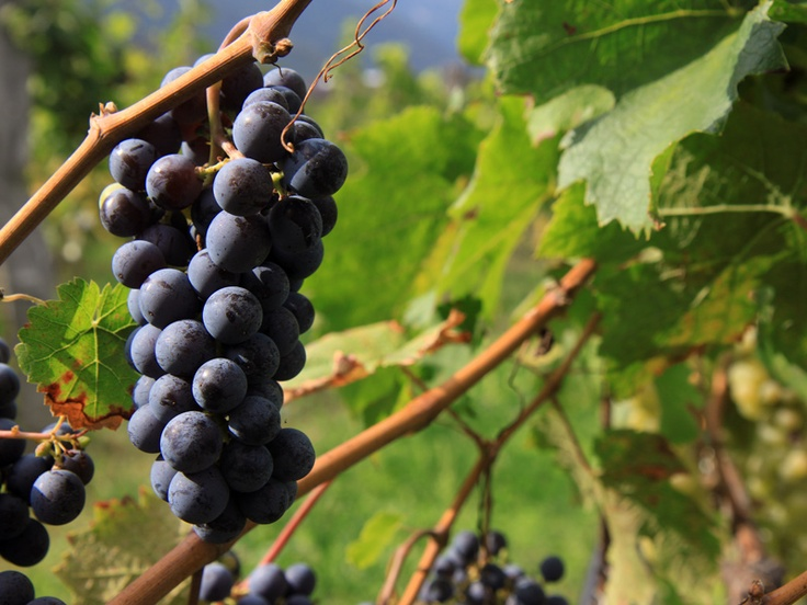 Cabernet franc: Trentino, Valdadige rosso.