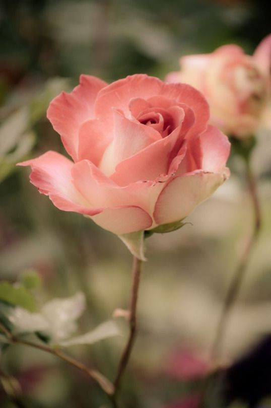 This is a pretty and delicate looking  rose bud.