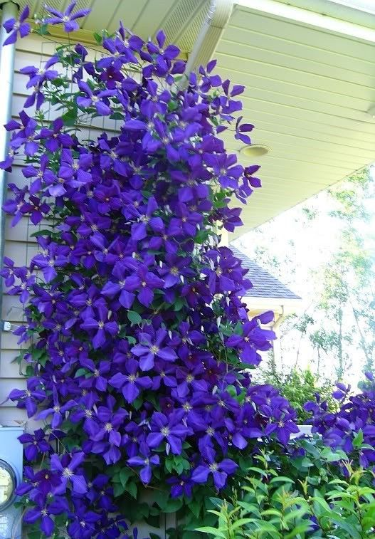 Clematis vine blooms in summer.